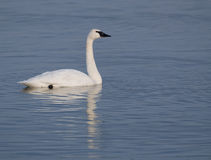 Trumpter swans and blue water Stock Photos