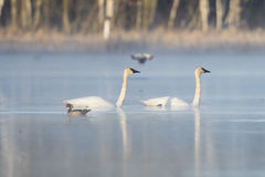 Trumpter Swans Royalty Free Stock Photography