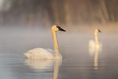Trumpter Swans Royalty Free Stock Photo