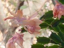 Truncata della schlumbergera, di Fiore-de-maggio, germoglio e fiori nel giardino Fotografia Stock