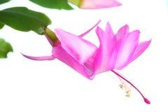 truncata schlumbergera Стоковые Изображения RF