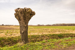Truncated willow in a polder landscape in the Netherlands Royalty Free Stock Image