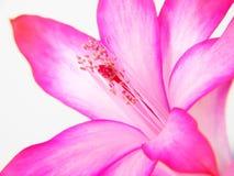 Truncatus van Zigocactus Royalty-vrije Stock Fotografie