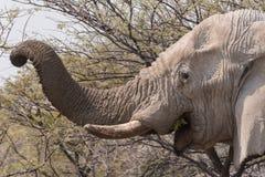 Trunck do elefante que come a acácia foto de stock