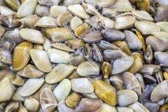 Trunculus de Donax, una especie comestible de almeja del agua salada, un bivalvo fotos de archivo