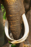 Trunk of an adult male indian elephant in Pinnawala Elephant Orphanage, Sri Lanka. Stock Images