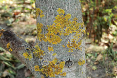 The trunk of the affected tree garden yellow green lichen. Disea. Ses of the garden trees Royalty Free Stock Images
