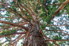 The trunk of the ancient redwoods Royalty Free Stock Image