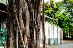 The trunk of the banyan Stock Image