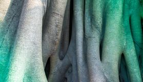 Trunk of a Banyan tree background Royalty Free Stock Image