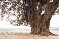 Trunk of banyan tree. Trunk banyan tree green life old trees lone aline alone stock images
