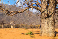 Trunk of baobab tree in a baobab forest stock images