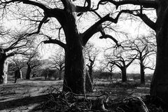 Trunk of baobab tree in a baobab forest stock photos