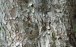 Trunk bark of the Fern Pine in Laguna Woods, California. Stock Photos