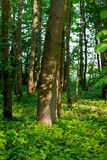 Trunk beech forest shadow royalty free stock photo