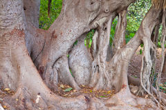 Trunk of  benjaminus ficus Royalty Free Stock Photo