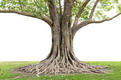 Trunk and big tree roots spreading out beautiful in the tropics. The concept of care and environmental protection.  royalty free stock photo