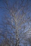 Trunk of a birch against the sky. In the winter Royalty Free Stock Photography