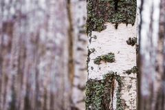 Trunk of a birch in a birch forest Stock Images