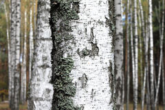 Trunk of birch close on background of forest Stock Photos