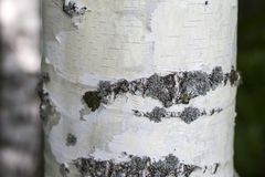 The trunk of a birch close up, texture, bark.  royalty free stock photography