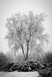 Trunk of a birch with hoarfrost Stock Images