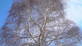 A trunk of a birch without leaves. In a spring season stock footage
