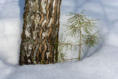 The trunk of a birch and a little pine. Royalty Free Stock Photos