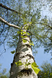Trunk of a birch removed from the bottom point Royalty Free Stock Photos