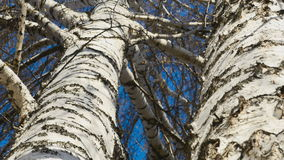 Trunk of birch, sunny spring day stock footage