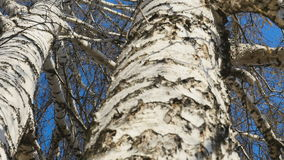 Trunk of birch, sunny spring day. View of the trunk of a birch stock video footage