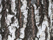 The trunk of the birch tree. The bark of the birch. Textured background Royalty Free Stock Photography