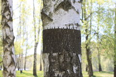 Trunk of birch tree with black-and-white birch bark close-up in birch grove for congratulatory or advertising text Stock Images