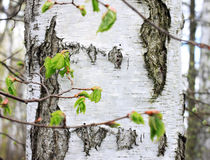 Trunk of birch tree with black-and-white birch bark close-up in birch grove for congratulatory or advertising text Stock Image