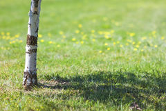 Trunk of birch tree with blurred green background yellow flowers Royalty Free Stock Photos