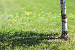 Trunk of birch tree with blurred green grass background and yell Royalty Free Stock Images