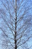Trunk of a birch tree with branches on a sky background royalty free stock photos