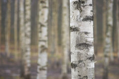 Trunk of birch tree Royalty Free Stock Photography