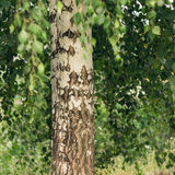 Trunk of birch tree Royalty Free Stock Photos