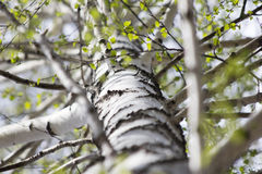 Trunk of a birch tree Royalty Free Stock Photo
