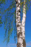 Trunk of a birch tree with green leaves Stock Photography
