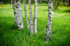 Trunk of birch tree in grove with bright green colors Royalty Free Stock Photography