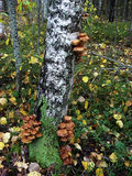 On the trunk of birch tree grow edible mushrooms honey agarics Stock Image