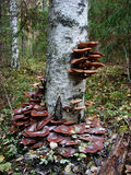 On the trunk of birch tree grow edible mushrooms honey agarics Royalty Free Stock Photo
