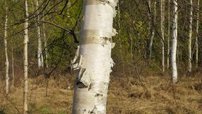 Trunk of birch tree. Trunk of young birch tree stock video