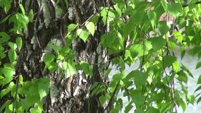 The trunk of birch trees and leaves. The trunk of a birch and the leaves in the wind stock video footage