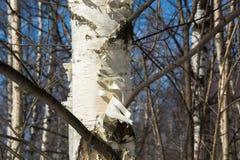 The trunk of a birch. Stock Photos