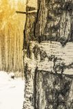 The trunk of a birch with white peeling bark royalty free stock images