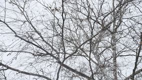 Trunk of a birch in the winter dry branches of a tree the nature a landscape Russia outdoors. Trunk of a birch in winter dry branches of a tree the nature a stock footage