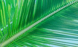The trunk of a branch with leaves of a palm tree royalty free stock images